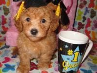 Simply 2 red orange maltipoo new puppies female left