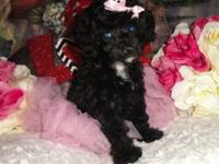 I have 1 male toy poodle ($550) and 1 female toy poodle