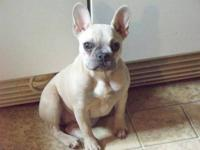 we have a blue fawn french bulldog she is a very sweet