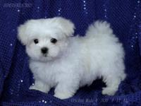 VGGGS 12 weeks old Maltese ready for a new home. They