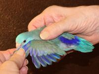 This sweet and beautiful parrotlet is very mellow and