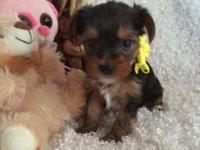 AKC/CKC Yorkie puppies, carry for Parti. Born on 3/5/15