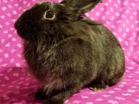 Victoria is a spayed, female Lionhead mix born in 2015.