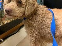 My story Victoria is a quiet and shy Miniature Poodle.