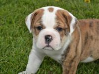 We have six male Victorian Bulldogs for sale. They were