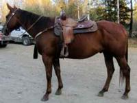 Avery is a very nice 7yr gelding. He was raised and