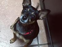 Vinny is a shy 5 year old MinPin boy looking for an