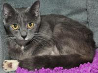 Viola is a beautiful DSH Russian Blue mix female born
