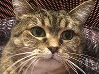 Viola is a 5 year old domestic short hair. She has been