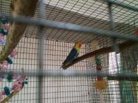 I have one Violet yellow face fisher lovebird left 4