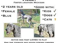 Violet's story Violet is a young Great Dane that needs