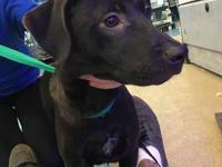 Violet is a stunningly gorgeous 4 month old lab mix.