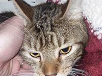 Virgil is a 2 year old domestic short hair. He has been