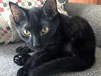 Virginia's story Black with half tail Pet adoptions at