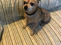 6 year old 8 lb brown male Chihuahua INTERESTED IN