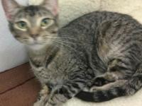 1 year old Female  Tabby.   Just had a litter.   Gets