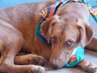 Vizsla - Holly - Medium - Young - Female - Dog Holly is