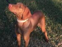 Scooter is a dark red Vizsla male with a great