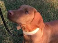 Vizsla Male, 5 months old. Very obedient, loving, and