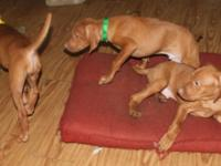 One VIZSLA male puppy available for adoption. These