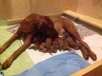 Our trash of 9 vizsla young puppies showed up on June