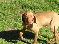 AKC registered female vizsla puppies,2 girls available,