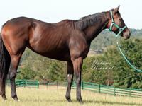 Volume Discount 2013 OTTB Mare  Beautiful mare with