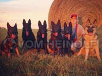 vom Heinolf German Shepherds is bought on a 100 acre