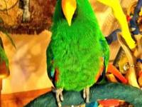 Beautiful female VOS eclectus. Not quite ready but will