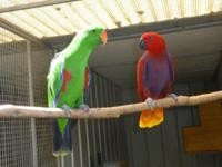 1 young pair of Vosmarie Eclectus available. Both were