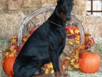 New litter - big, beautiful, black/rust males and