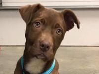 Waffles is a 4-month-old  chocolate lab/terrier mix.