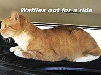 Waffles's story Meet Waffles he is a orange tabby,