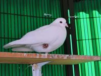 Waffles is a beautiful & lucky pigeon racing survivor.