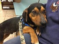 Waggs coming 2-16's story For Adoption: Seven month old