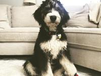We are expecting F1 Bernedoodles to arrive around June