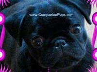We are expecting AKC Grand Champion Line pug puppies to