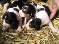 These are EXTREMELY well reproduced pups. From our best