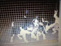 Registered Walker Coonhound young puppies. They are 4