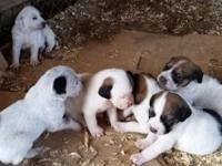 I have walker hound and lab mix puppies for sale. The