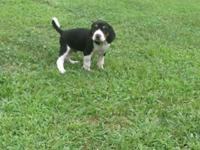 I have 2 Pkc an Ukc Registered Superstake puppies both