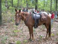 6yr old grade walking horse gelding , nice gaited