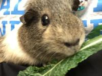 Wanda is a sweet young female guinea pig that lives