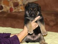 AKC German Shepherd puppies ready for new homes October