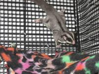 I have two sugar gliders: 1 male, 1 female. Both were