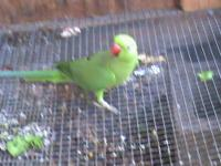 want to trade ringnecks also have male sun conure want