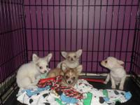 I am looking for a female long hair chihuahua pup