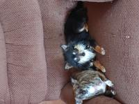 Seeking adult male Chihuahua. 1 yr and old. Must like
