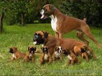 HI am looking for a Female AKC Boxer . Either Brindle