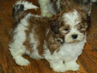 I am looking to purchase a shih tzu puppy or possibly